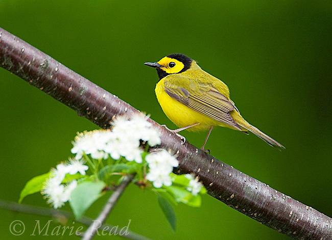 Hooded Warbler (Wilsonia citrina), male, New York, USA
