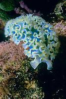 sacoglossan, or sap-sucking sea slug, Elysia crispata, Habitat House Reef, Bonaire, Netherlands Antilles, Caribbean Sea, Atlantic Ocean