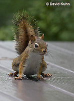 0705-1008  Red Squirrel on Alert While Foraging for Seeds on House Patio, Tamiasciurus hudsonicus  © David Kuhn/Dwight Kuhn Photography