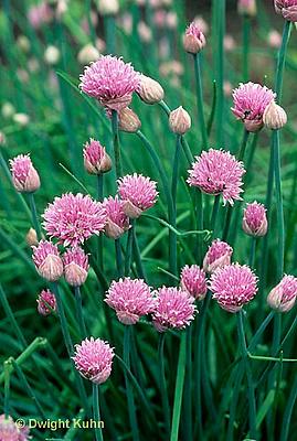 HS35-005b  Chives - in flower - Allium schoenoprasum
