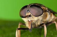 Pferdebremse, Porträt, Portrait mit Facettenauge, Auge, Augen, Komplexauge, Komplexaugen, Facettenaugen, Insektenauge, Insektenaugen, mit stechenden Mundwerkzeugen, Mundwerkzeuge, Pferde-Bremse, Bremse, Tabanus sudeticus, dark giant horsefly, Giant Horsefly, eye, eyes, compound eye, compound eyes, mouthpart, mouthparts, horse-fly, Bremsen, Tabanidae, Horseflies, Horse-flies