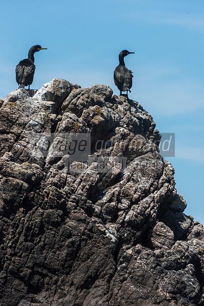 Royaume-Uni, îles Anglo-Normandes, île de Sark (Sercq) : Grand Cormoran // United Kingdom, Channel Islands, Sark Island (Sercq): Great Cormorant
