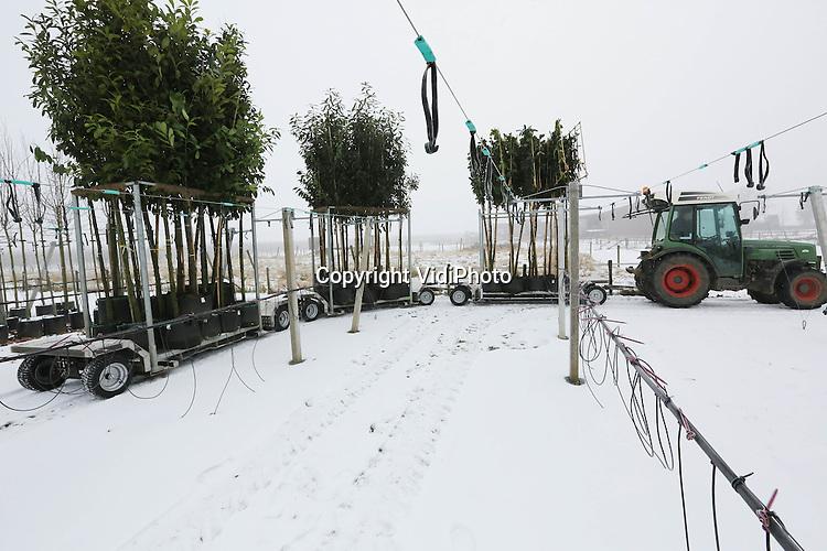 Foto: VidiPhoto..LIENDEN - Laanboomkweker Wendel van de Wardt uit Lienden in de Betuwe test maandag zijn nieuwe spoorvolgende diepladers. De gloednieuwe diepladers zijn ontwikkeld door MVL Techniek in Dodewaard, naar een idee van Van de Wardt zelf. De drie diepladers en tractor met een totale lengte van 16 meter hebben een draaihoek van slechts 3,5 meter en zijn dus uitermate geschikt voor de smalle paden in de laanboomteelt. De laadvloer (inclusief pallet) bevindt zich op slechts 25 cm. van de grond, zodat de bomen met pot niet hoog getild hoeven te worden. De diepladers kunnen fors meer potten transporteren dan shovels en zijn ook geschikt voor de bloemen- en fruitteelt..