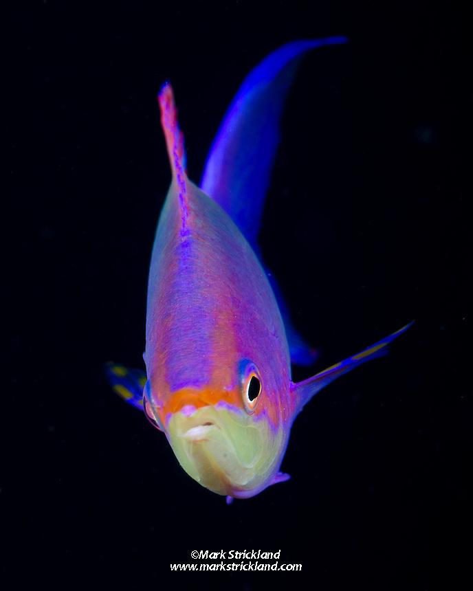 Purple Anthias, Pseudanthias tuka, Great Barrier Reef, Australia, Coral Sea, Pacific Ocean