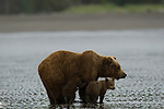A brown bear mother teaches her cubs to dig for razor clams at low tide on the beach, Lake Clark National Park, Alaska, USA, June 28, 2008.  Photo by Gus Curtis