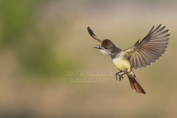 Brown-crested Flycatcher (Myiarchus tyrannulus), adult in flight with prey, Sinton, Corpus Christi, Coastal Bend, Texas, USA