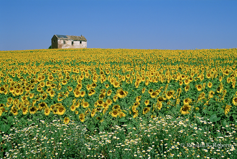 Field of sunflower, Southern Spain