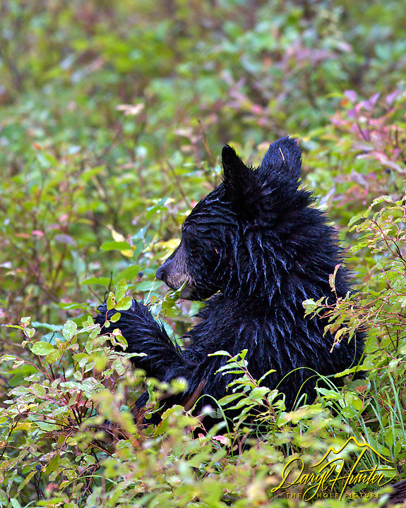 Black Bear cub eating huckleberries in  Grand Teton National Park