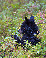 Black Bear cub eating huckleberries in  Grand Teton National Park