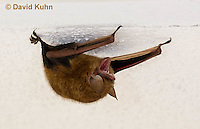 0411-1001  Little Brown Bat (syn. Little Brown Myotis), Myotis lucifugus  © David Kuhn/Dwight Kuhn Photography.