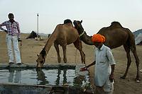 Camels drinking water at camel market in Pushkar, Rajastan, India