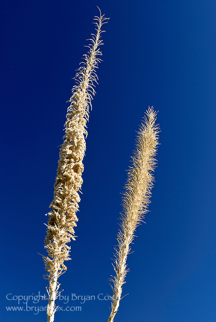 Dried yucca seed stalks, Saguaro National Park