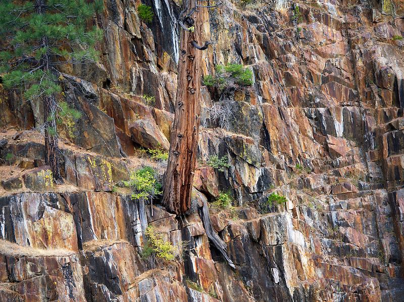 Cedar tree growing in rock wall on banks of Glen Alpine Creek. Near Fallen Leaf Lake, California