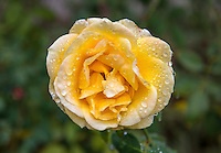 Roses, Dec. 22, 2015.<br /> (Photo by Marc Campos, Occidental College Photographer)
