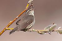 Northern Waterthrush - Seiurus noveboracensis