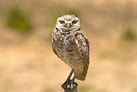Burrowing Owl, Mojave desert