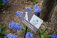 Tree pits in the New York neighborhood of Chelsea are posted with signs requesting dog owners to keep their pets away from the hyacinth plantings, seen on Saturday, March 24, 2012. (© Richard B. Levine)