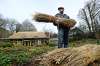 BNPS.co.uk (01202 558833)<br /> Pic: ZacharyCulpin/BNPS<br /> <br /> Pictured: Master thatcher Scott Symonds with the locally grown straw.<br /> <br /> Master thatcher Scott Symonds puts the finishing touches to the new straw roof at the former home of Victorian author Thomas Hardy.<br /> <br /> The National Trust, which owns the picturesque cottage near Dorchester, Dorset, has closed the historic property for more than a month while it undergoes vital conservation work.<br /> <br /> On the inside new structural supports have been installed and the stone floor repointed after taking a battering from thousands of visitors over the years.<br /> <br /> And on the outside the roof has been re-thatched by Scott and his dad Dave who even appeared was an extra in the 2015 film adaptation of Hardy's Far From the Madding Crowd.
