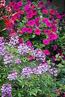 Cleome Senorita Rosalita + Petunia Purple Wave, climbing annual petunia in purple and pink color theme