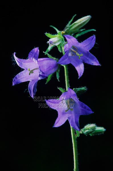 Nettle-leaved Bellflower, Campanula trachelium, blooming, Oberaegeri, Switzerland, Europe