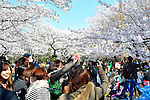 Tokyo, Japan - April 8: People took pictures of cherry blossoms as they were in full bloom in Yoyogi Park, Shibuya, Tokyo, Japan in the fair weather on April 8, 2012.