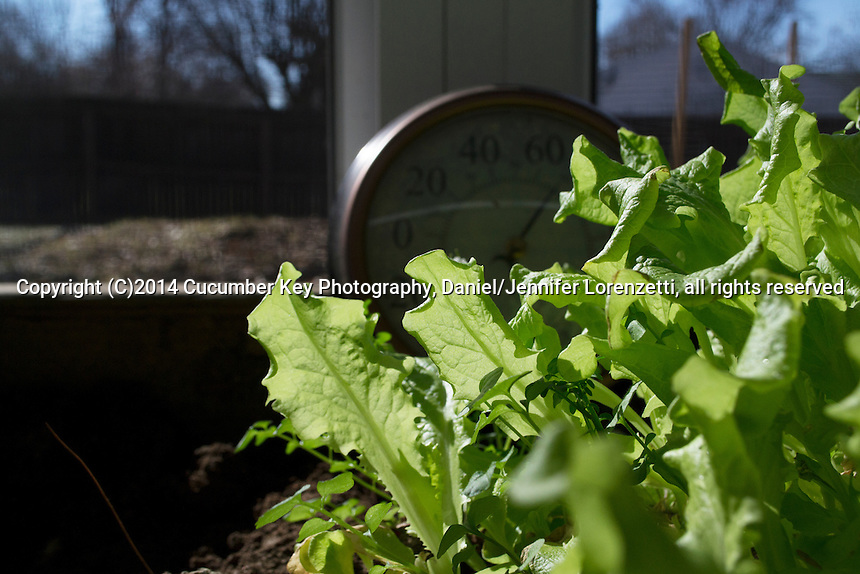 Lettuces continue to thrive in a container bed in a sunny window in spring.
