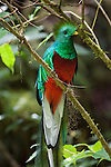 Portrait of a male resplendent quetzal perched on a branch.