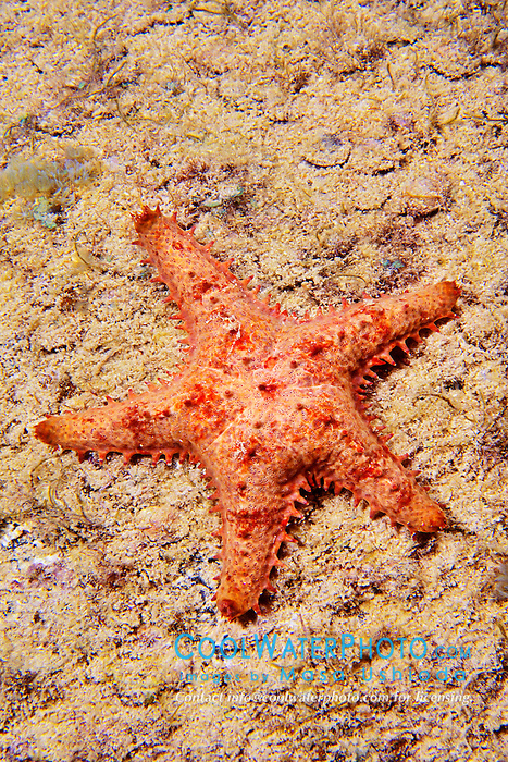 Sheriff-badge star or keeled star, Asteropsis carinifera, Kona Coast, Big Island, Hawaii, Pacific Ocean