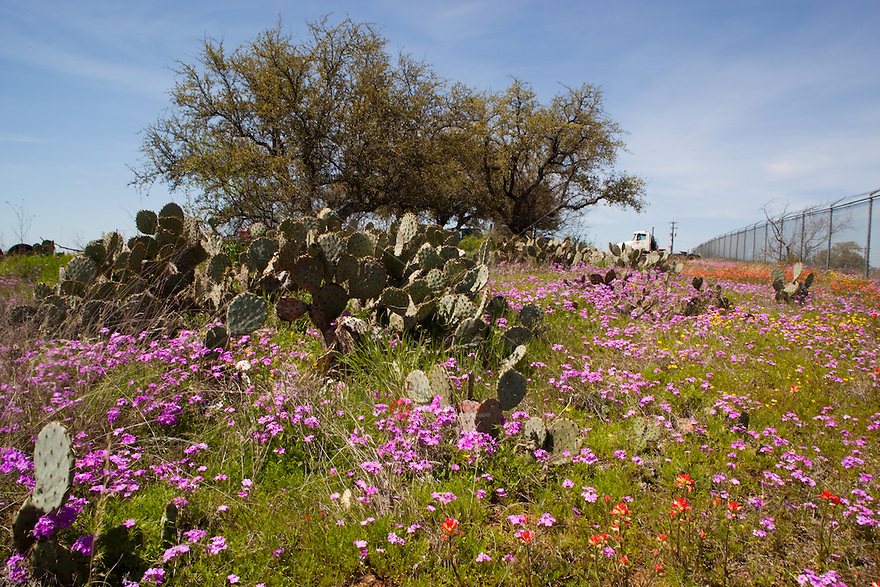 Pink Phlox wildflowers paint the Texas Hill Country pink
