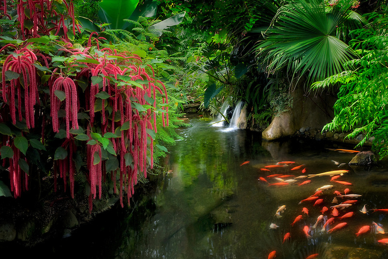 Pond with red Chennile, Koi, and waterfalls. Victoria Butterfly Gardens, Victoria, B.C.