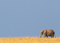 Lone Elephant Scenic  Kenya 2015