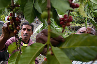 May 4th, 2012_ LACLUBAR, TIMOR-LESTE_ Residence of the mountain town of Laclubar, pick organic Timor Arabica coffee cherry at the start of the harvest season.  Coffee is an important agricultural crop for the residence of this remote mountain village.  Photographer: Daniel J. Groshong/The Hummingfish Foundation