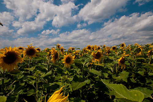 Some sunflowers in summers day.