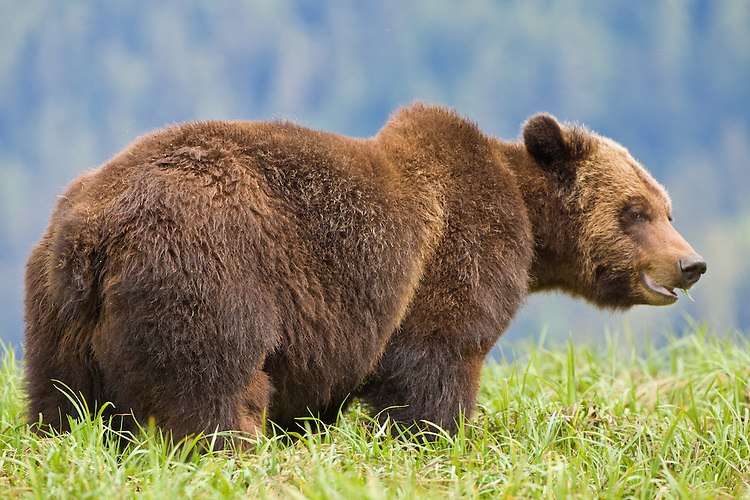 Grizzly Bear standing in some tall grass