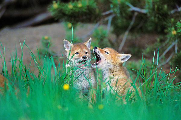 Two wild coyote pups howl in response to adults.  Western U.S.,  June.