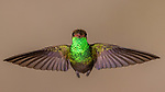 Ecuador, Andean cloud forest, rufous-tailed hummingbird (Amazilia tzacatl)