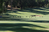 Kangaroo's on the 9th fairway during Round 1 of the ISPS Handa World Super 6 Perth at Lake Karrinyup Country Club on the Thursday 8th February 2018.<br /> Picture:  Thos Caffrey / www.golffile.ie<br /> <br /> All photo usage must carry mandatory copyright credit (&copy; Golffile | Thos Caffrey)