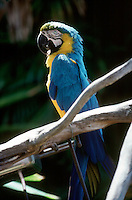 TROPICAL BIRDS<br /> Blue And Yellow Macaw<br /> (Ara ararauna)