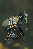 Pipevine Swallowtail (Battus philenor),pair mating, Sinton, Coastel Bend, Texas, USA