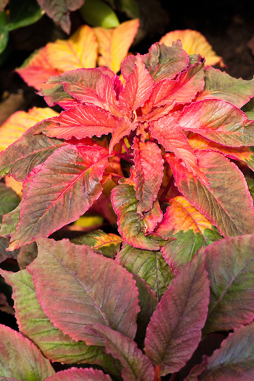 Amaranthus tricolor 'Illumination', early July. Also known as Summer poinsettia, Chinese spinach, and Joseph's coat.