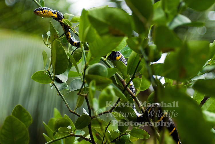 The Gold-ringed Cat Snake or Mangrove Cat Snake (Boiga dendrophila) is a species of snake that belongs to the genus of Boiga. They are one of the biggest cat snake species, averaging in lengths between six to eight feet. It is considered mildy-venomous, but moderate envenomations resulting in intense swelling have been reported, though there have been no severe cases of hospitalisation or fatalities.