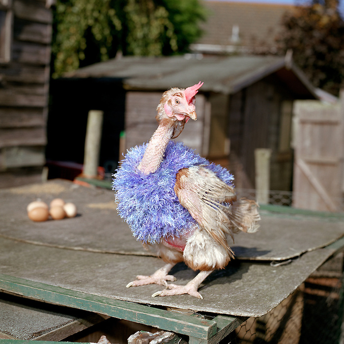 Re- Home Series. Kent, UK. 2010. A recently rescued hen without it's feathers wears a jumper to keep warm.