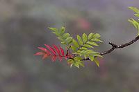 Branch on Ash tree, Yellow Mountain, Huangshan, China
