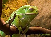 0519-07qq  Waxy Monkey Frog - Phyllomedusa sauvagii - © David Kuhn/Dwight Kuhn Photography