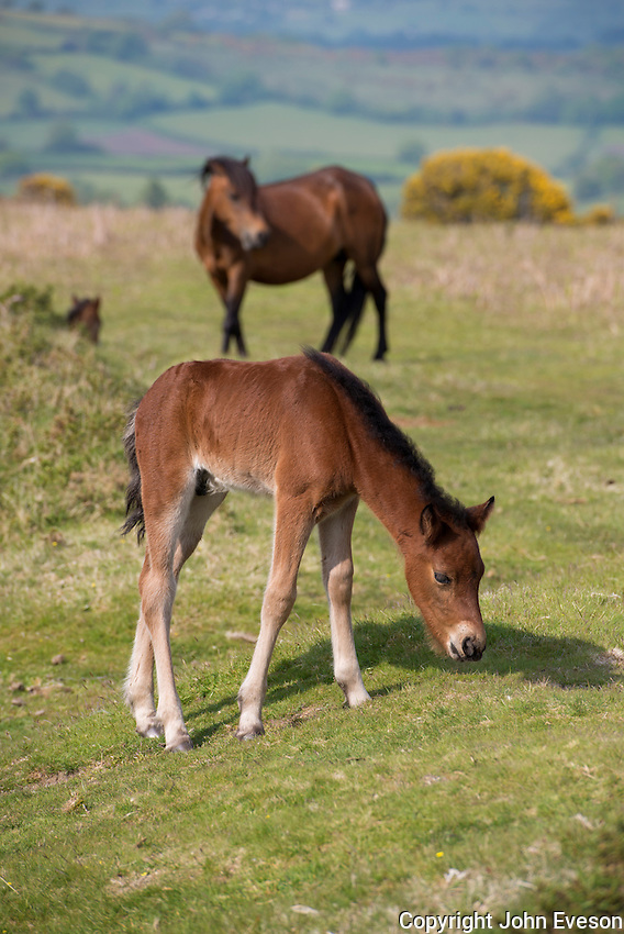 Dartmoor ponies, Dartmoor, Devon.