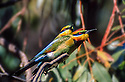 Male female mated pair of Rainbow Bee-eaters (Merops ornatus) in River Red Gum at Murrumbidgee River,  Gundagai, NSW.