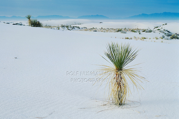 Yucca in Sand dune,White Sands National Monument, New Mexico, USA,