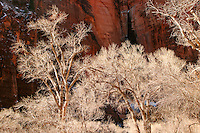Sunlit cottonwood trees against shaded red canyon wall, Zion National Park, Washington County, U