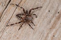 Garten-Kreuzspinne, Gartenkreuzspinne, Gemeine Kreuzspinne, Araneus diadematus, cross orbweaver, European garden spider, cross spider