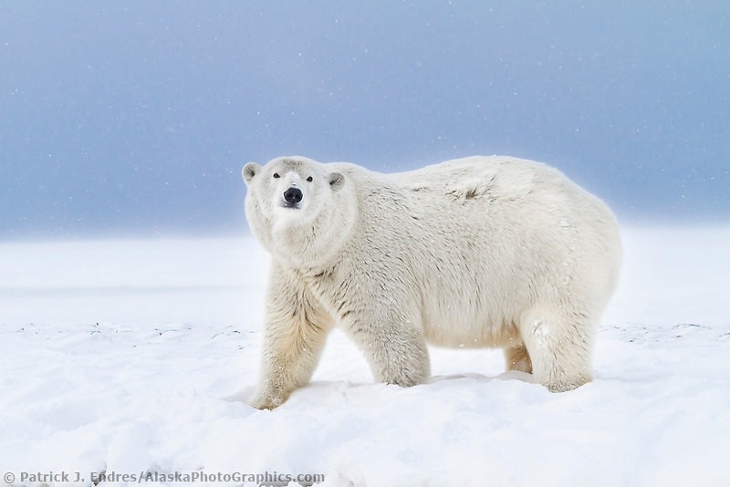 Polar bear walks along the shore of a snow covered island in the Beaufort Sea on Alaska's arctic coast.